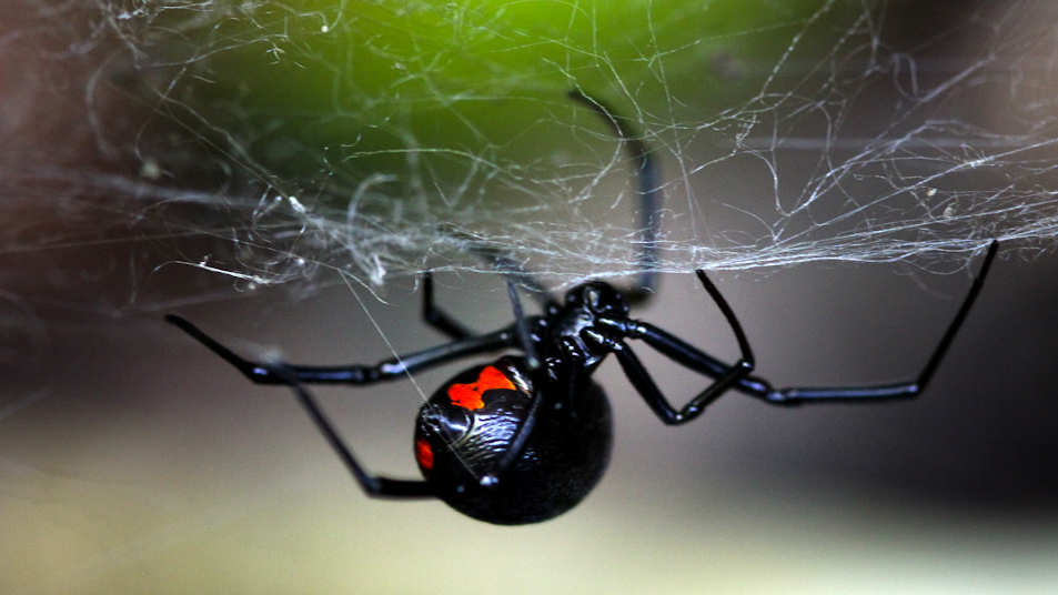 what it feels like to be bitten by a black widow spider tested